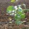 Como sembrar y plantar Pistachos